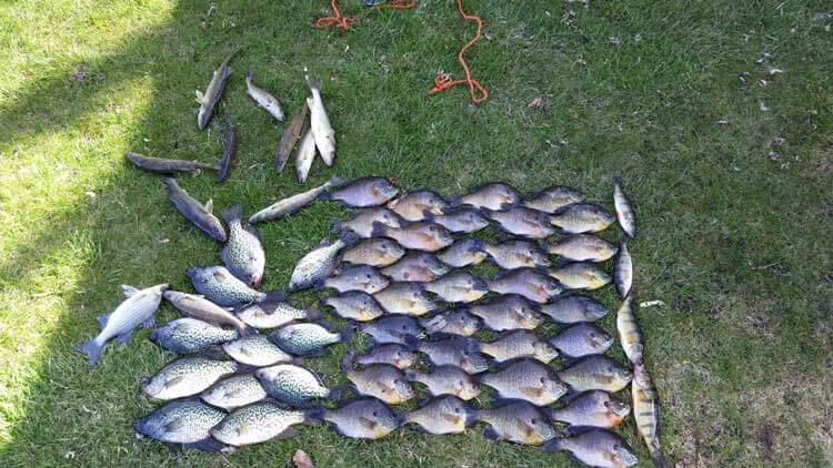 a days catch of panfish and walleye