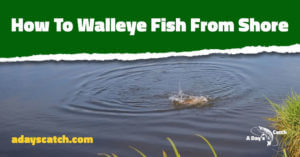 How To Walleye Fish From Shore