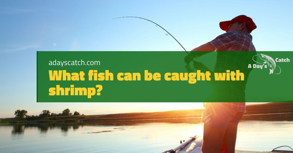 What fish can be caught with shrimp