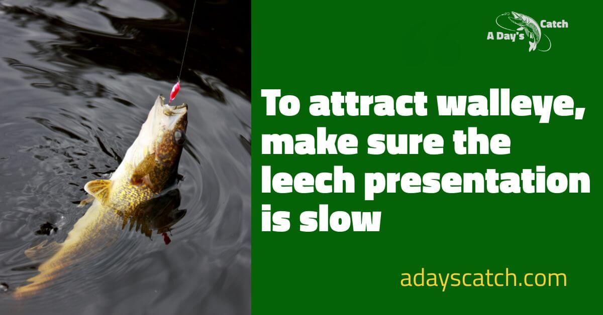 To attract walleye make sure the leech presentation is slow